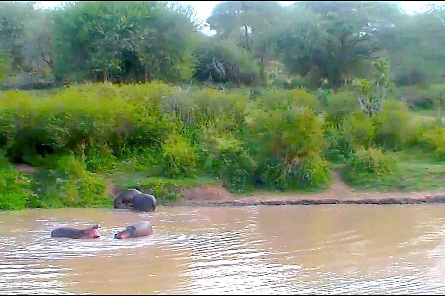 Laikipia County Hippos