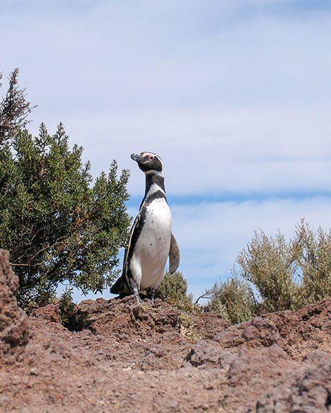 Pinguin (© Matthias Holtmann/Sabine Scho)